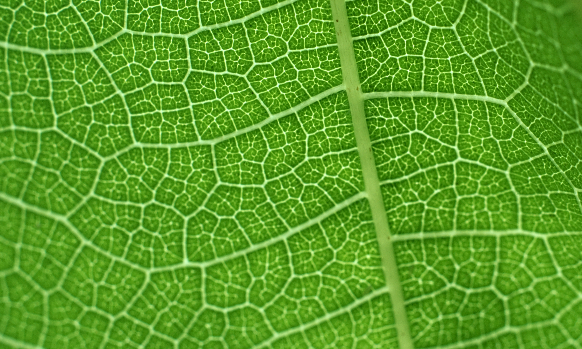 connected paths on a lime leaf